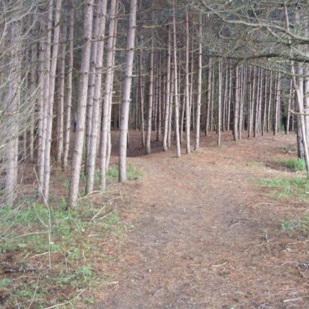 Trail through stand of pine trees
