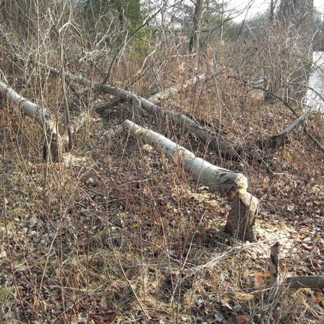 Trees chewed by beavers